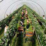 Спека у тіні. Статус сезонних працівників в Україні та Польщі